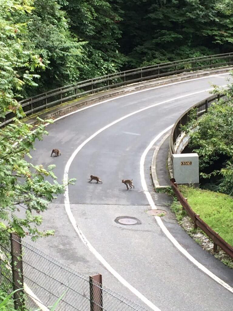 道路を横断するサル
